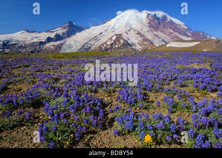 Carpet of lupines on 1st Burrough Mountain in Mount Rainier National Park in Western Washington, USA - Stock Photo