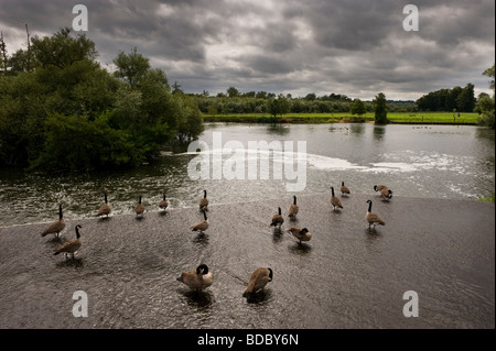 Canada geese at Hambleden weir Hambleden Buckinghamshire UK on the River Thames - Stock Photo