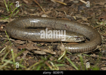 Blindschleiche blindworm (Anguis fragilis) - Stock Photo