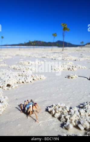 Soldier crab (Mictyris longicarpus) on beach, Whitsunday Islands National Park, Queensland, Australia - Stock Photo