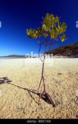 Mangrove sapling (Rhizophora sp.) taking root on tidal sandflat, Whitsunday Islands National Park, Queensland, Australia - Stock Photo
