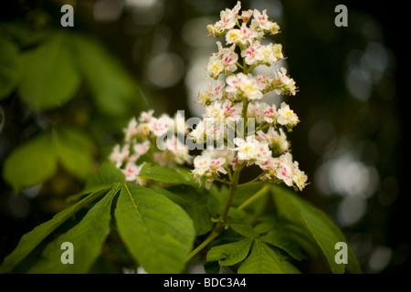 Horse-Chestnut Flowers, Aesculus hippocastanum - Stock Photo