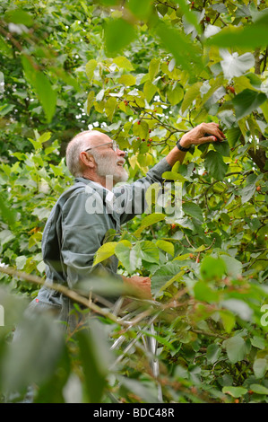 A man up a ladder harvesting mulberries in late summer, UK. Picture Jim Holden. - Stock Photo