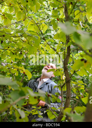 Harvesting mulberries in late summer, UK. Picture Jim Holden. - Stock Photo