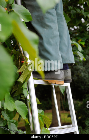 A pair of feet on a ladder in a garden. Picture Jim Holden. - Stock Photo