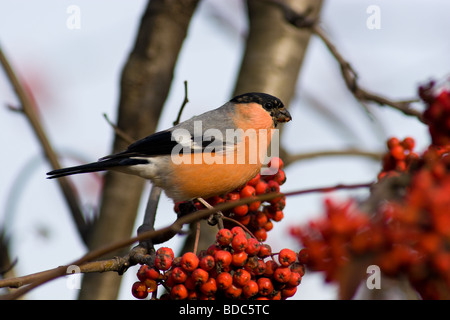 The Bullfinch (Pyrrhula pyrrhula Linnaeus, 1758) is mountain ash berries. The male sits on a branch - Stock Photo