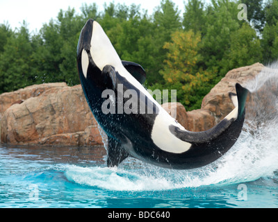 Killer Whale jumping out of the water Marineland Niagara Falls - Stock Photo