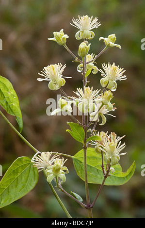 Traveller's-joy  Wild clematis Old man's beard Clematis vitalba - Stock Photo