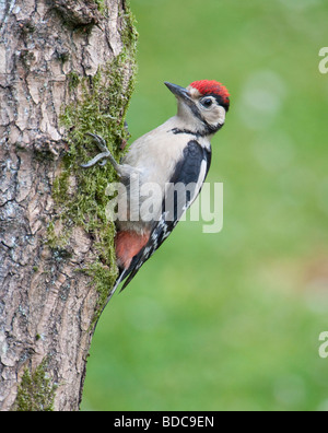 Greater Spotted Woodpecker (Dendrocopos Major) on a tree trunk, Surrey, England - Stock Photo
