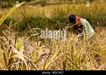 Indonesia Sulawesi Tana Toraja Lokkomata worker harvesting rice paddy fields by hand - Stock Photo