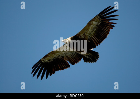 Eurasian Griffon Vulture Gyps fulvus - Stock Photo
