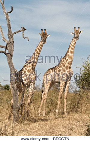 the zoology of giraffes giraffa camelopardalis The origin, phylogeny, and evolution of modem giraffes (giraffa camelopardalis) is obscure we review here the literature and conclude that the proximate ancestors of modern giraffes probably evolved in southern central europe about 8 million years ago (mya) these ancestors appear to have arisen from the gelocid ancestral assemblage.