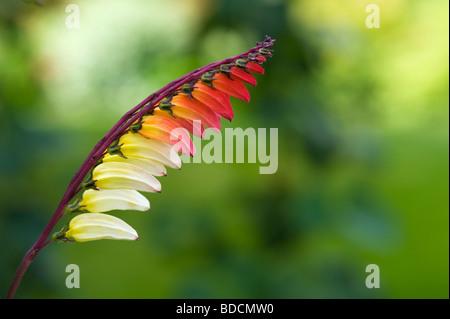 Ipomoea lobata. Firecracker vine in flower. UK - Stock Photo