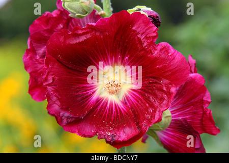 Purple hollyhock flower close up Alcea rosea - Stock Photo