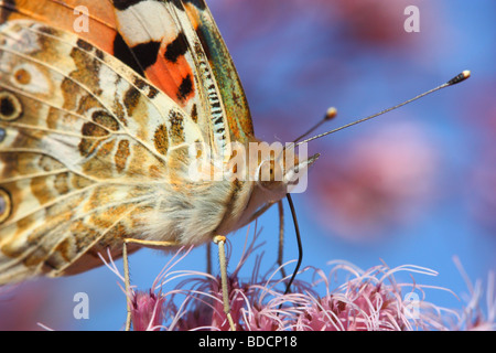Tortoiseshell Butterfly close up Aglais urticae - Stock Photo