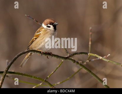 Tree Sparrow perching on a branch of the tree - Stock Photo