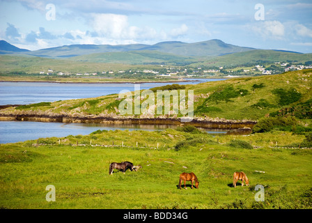 Horses graze in a meadow on Loughros Point near Ardara County Donegal Ireland - Stock Photo