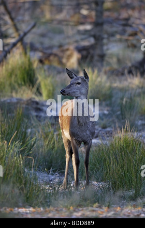 Rothirsch (Cervus elaphus) Red Deer - female - Stock Photo