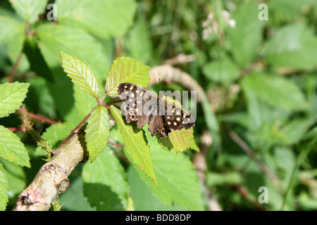A Speckled Wood butterfly resting on a leaf - Stock Photo