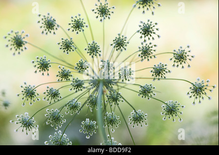 Ammi majus. Bullwort / Bishops weed flowering pattern - Stock Photo