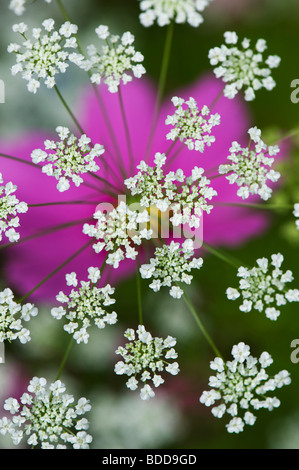 Ammi majus. Bullwart / Bishops weed flowering in front of cosmos flower - Stock Photo