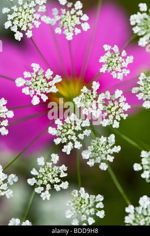 Ammi majus. Bullwart / Bishops weed flowering in front of cosmos flower - Stock Photo