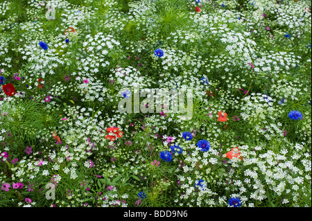 Ammi majus. Bullwart / Bishops weed flowering with poppies, cosmos and cornflowers in an english garden Stock Photo