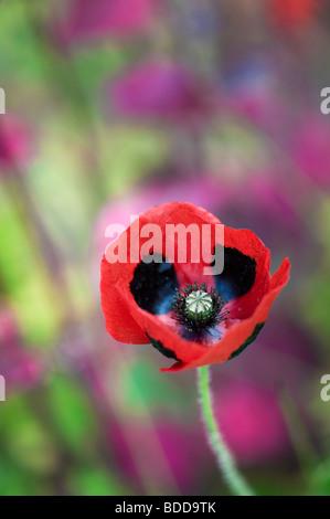 Papaver commutatum ladybird poppy