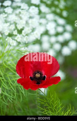 Papaver rhoeas poppy in Ammi majus, Bishops weed - Stock Photo