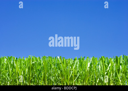 Cut grass, low angle against plain blue sky - Stock Photo