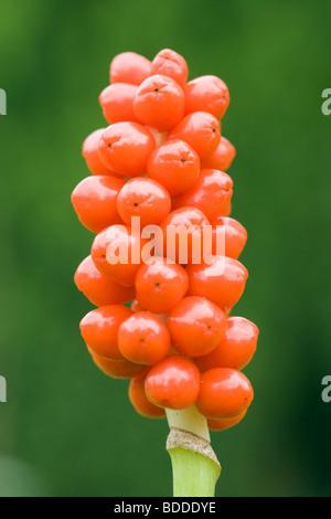 Lords-and-Ladies (Cuckoo Pint), Arum maculatum. Berries. UK. - Stock Photo