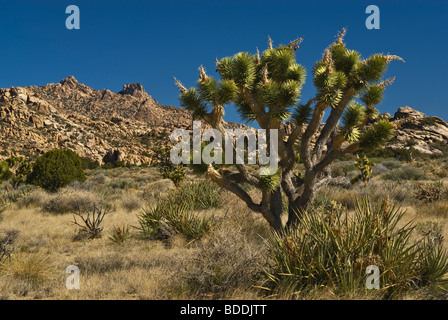 Joshua Trees in New York Mountains at Mojave National Preserve, California, USA - Stock Photo