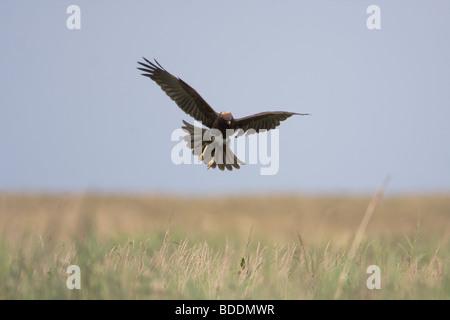 Marsh Harrier, Circus aeruginosus, Norfolk UK - Stock Photo