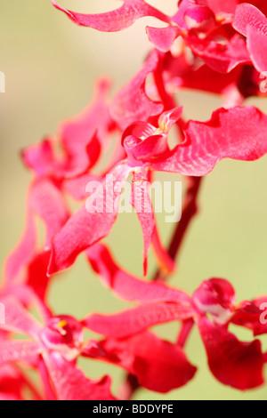 amazing azima mokara orchid - fine art photography Jane-Ann Butler Photography JABP566 - Stock Photo