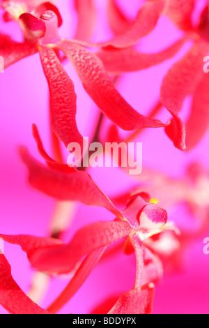 amazing azima mokara orchid - fine art photography Jane-Ann Butler Photography JABP561 - Stock Photo