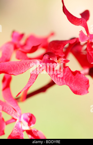 amazing azima mokara orchid - fine art photography Jane-Ann Butler Photography JABP564 - Stock Photo
