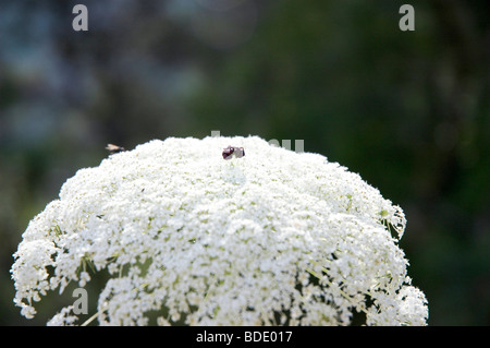 Israel, Daucus carota (common names include wild carrot, bird's nest, bishop's lace, and Queen Anne's lace) - Stock Photo