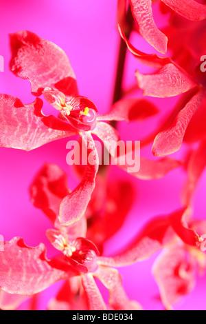 amazing azima mokara orchid - fine art photography Jane-Ann Butler Photography JABP562 - Stock Photo