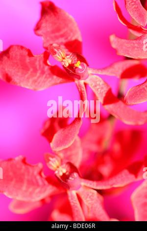 amazing azima mokara orchid - fine art photography Jane-Ann Butler Photography JABP563 - Stock Photo