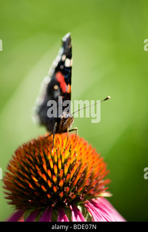 Vanessa atalanta. Red admiral butterfly feeding on an Echinacea purpurea coneflower Stock Photo