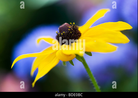 Rudbeckia fulgida Goldsturm flower against blue background in a garden - Stock Photo