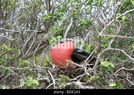 Male Great Frigatebird in breeding plumage in tree, Genovesa Island, Galapagos Islands, Ecuador, South America. - Stock Photo