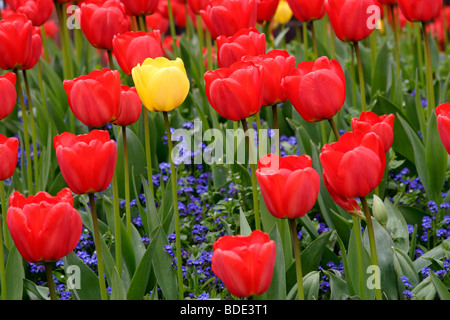 Yellow and red tulip (tulipa genus) flowers , England UK Stock Photo