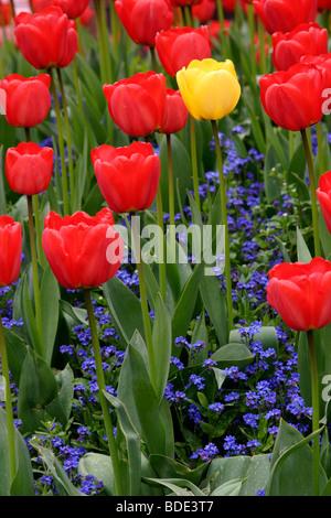 Yellow and red tulip (tulipa genus) flowers, England, UK - Stock Photo