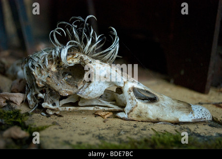 The skull of a male Muscovy duck with the feathered crest, France. - Stock Photo