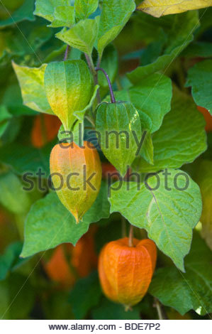 chinese lantern plant physalis alkekengi with its round fruits stock photo royalty free image. Black Bedroom Furniture Sets. Home Design Ideas