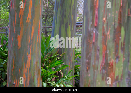 The colourful bark of the Mindanao Gum tree Eucalyptus deglupta in Oahu Hawaii - Stock Photo
