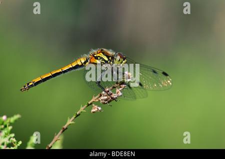 Female Black Darter Sympetrum danae perched - Stock Photo
