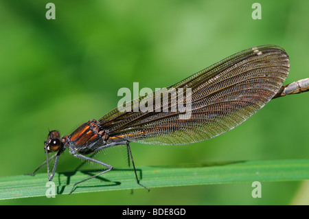 Female Beautiful Demoiselle Calopteryx virgo perched on grass blade - Stock Photo