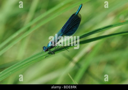 Male Banded Demoiselle Calopteryx splendens perched on grass blade - Stock Photo